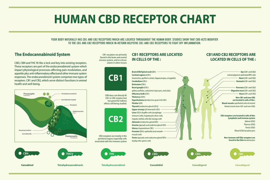 CBD receptors infographic