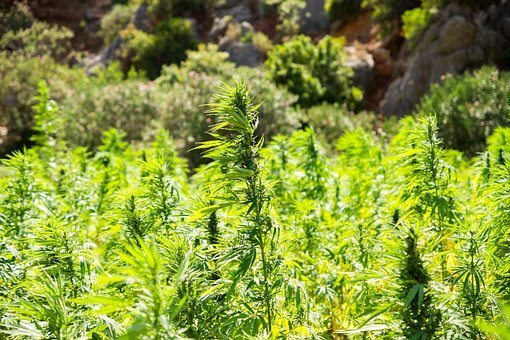 CBD Oil Hemp Field