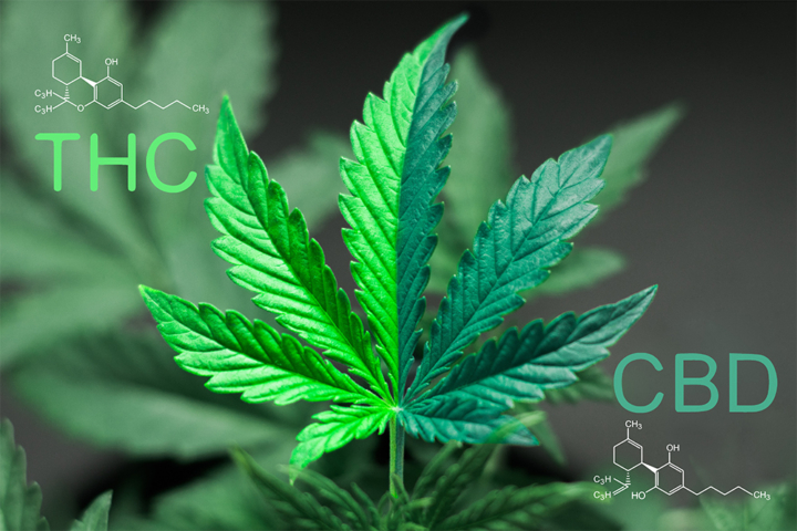 What is CBD? CBD vs THC text with two tone cannabis leaf