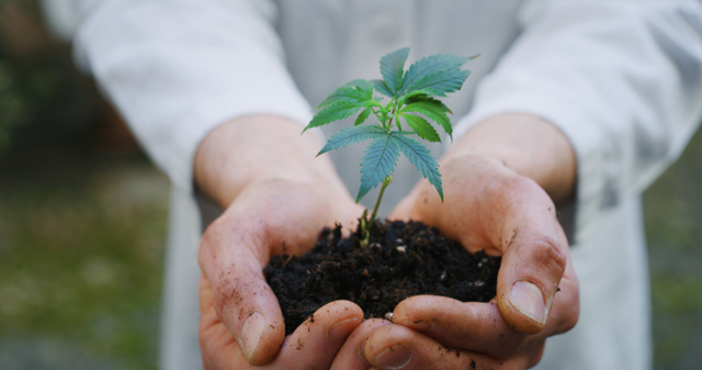 Close up of scientist hands keeping a seedling of a hemp plant